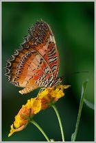 Bortenfalter (Cethosia biblis)