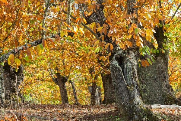 bosque dorado