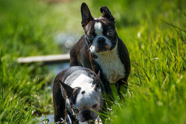Boston Terrier 2