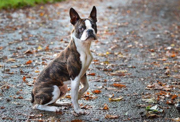 Boston Terrier Eddie