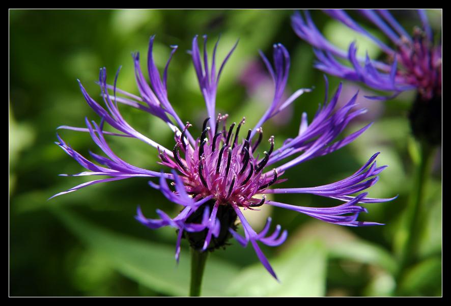 Botanical garden I - Cornflower