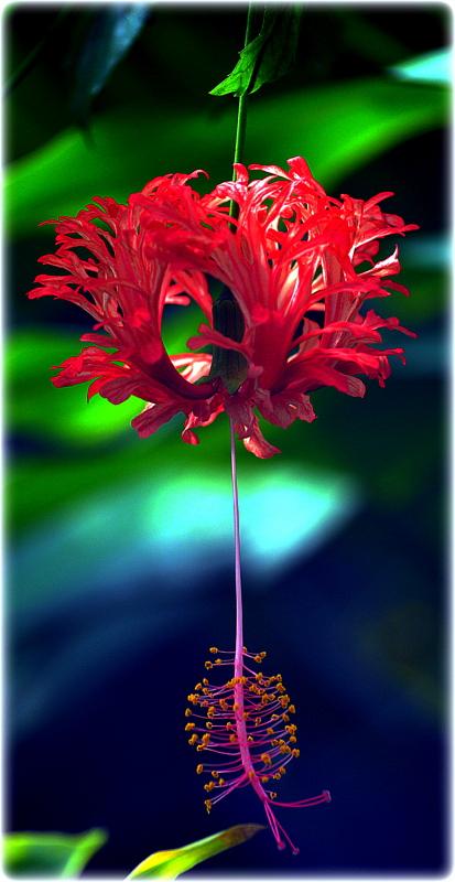 BOTANIK GARDEN;KORALLENEIBISCH;(Hibiscus schizopetalus)