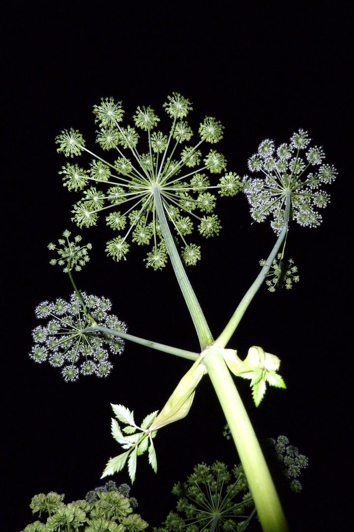 botanisches Feuerwerk
