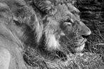 Botswana - Löwen (11)