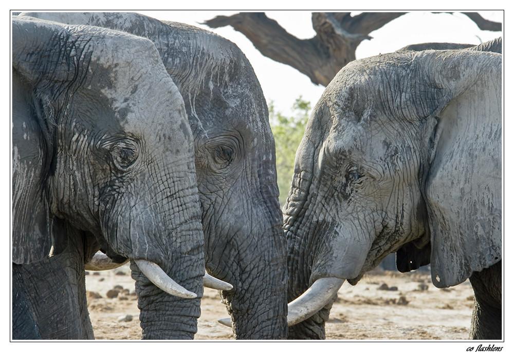 Botswana's Elefanten III