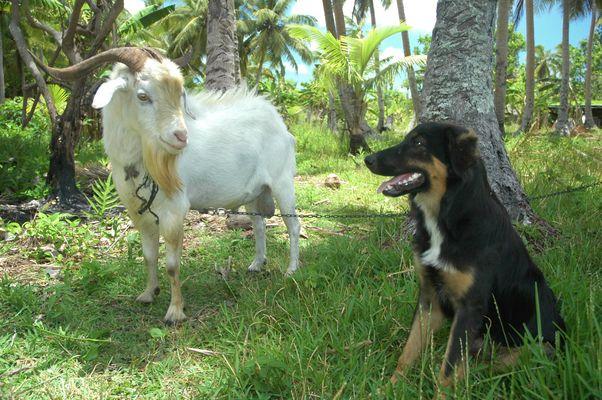 Bouc et chien