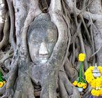 Bouddha étouffé par un ficus