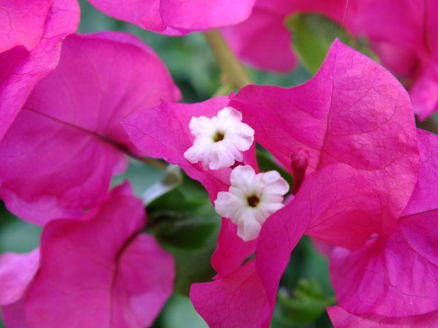 Bougainvillea (P)