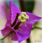 Bougainvillée en fleur