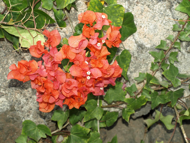 Bougainvillie oder Drillingsblume