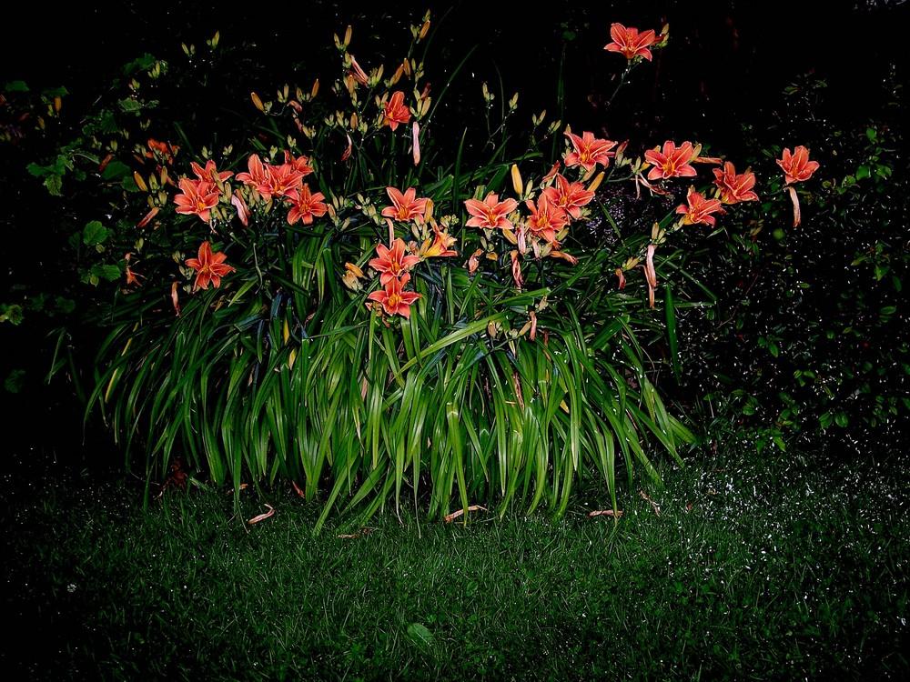 Bouquet d'hémérocalles de nuit