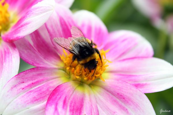 bourdon sur fleur pastel