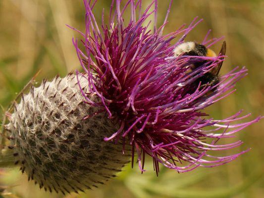 Bourdon sur fleur violette.