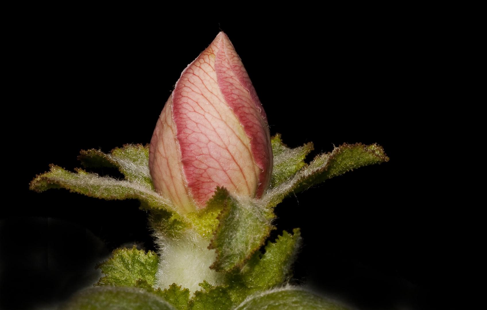 Bourgeon de fleur de cognassier.