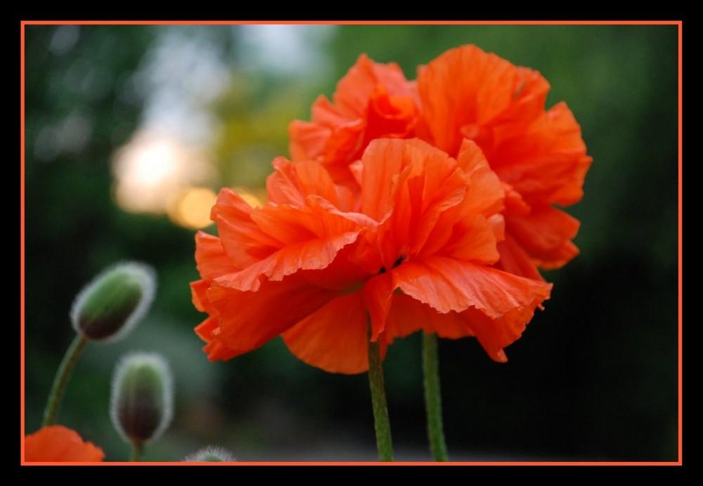 Bousculade de fleurs chez les pavots