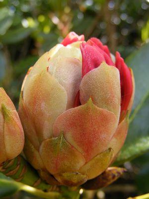 Bouton de fleur (1)