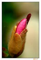 bouton de magnolia