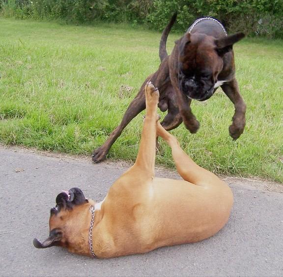 Boxer beim Toben