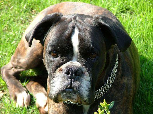 Boxer - die besten aller Hunde