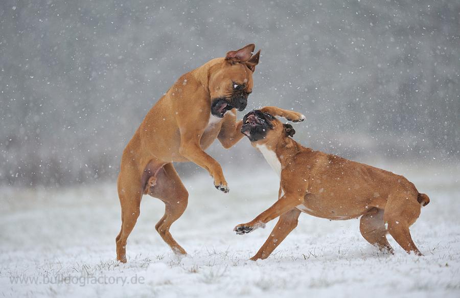 Boxer im Schnee, wie sie sind, .....