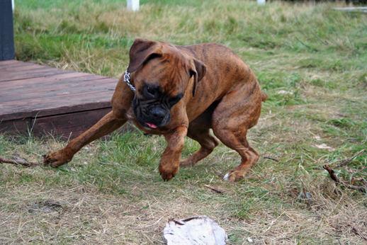 boxer in aktion