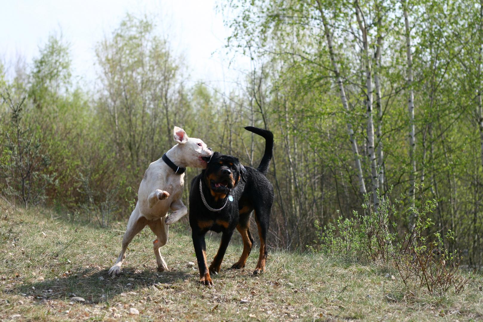 Boxer vs. Rottweiler