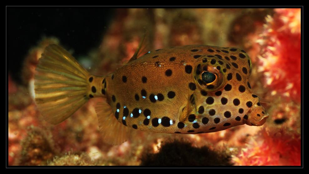 *Boxfish*