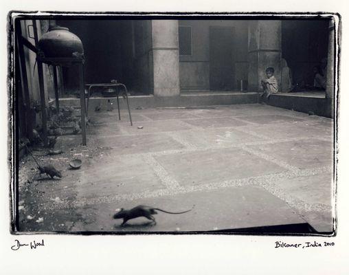 Boy and rats, India.