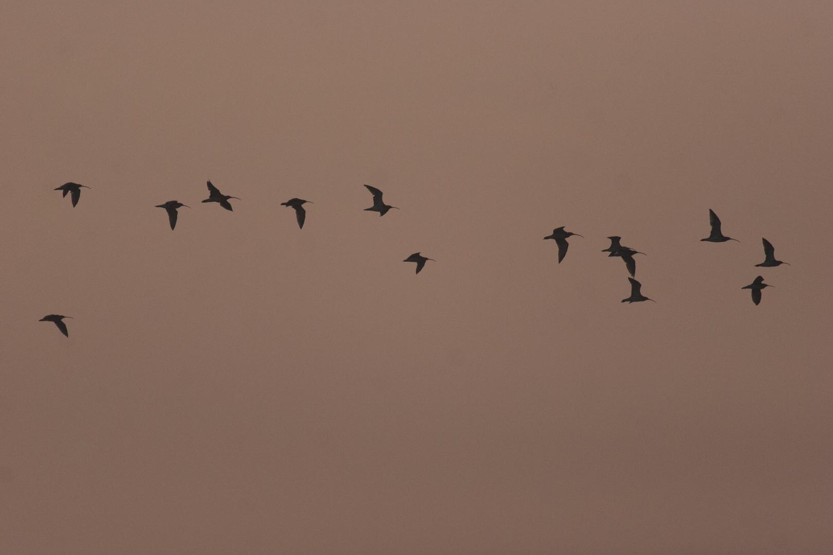 Brachvögel