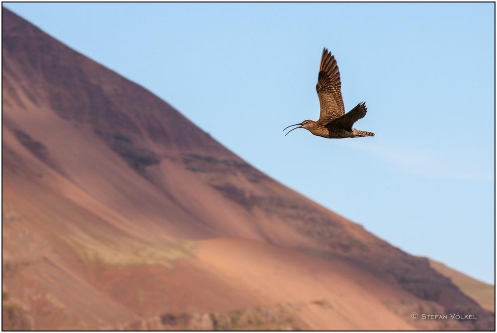 Brachvogel in Island