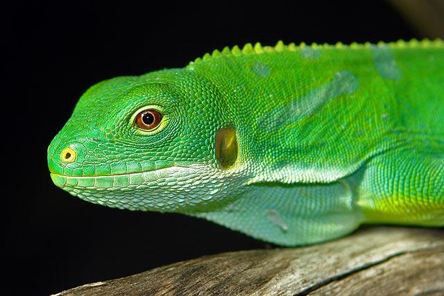 Brachylophus fasciatus ( Fidschi Leguan, Männchen )