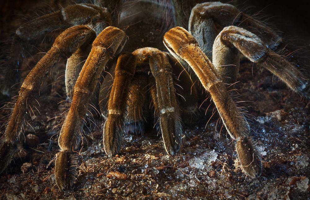 Brachypelma velvetosoma