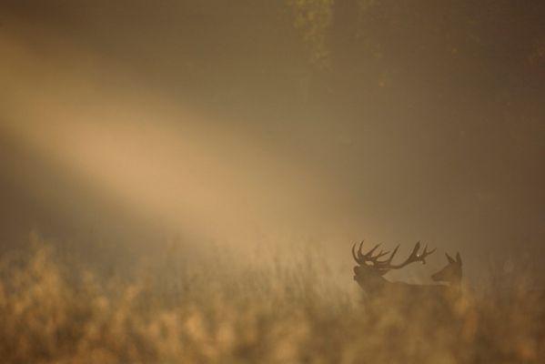 Brame au lever du soleil