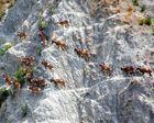 Branco di mufloni a Pecorile(RE) a fine Agosto