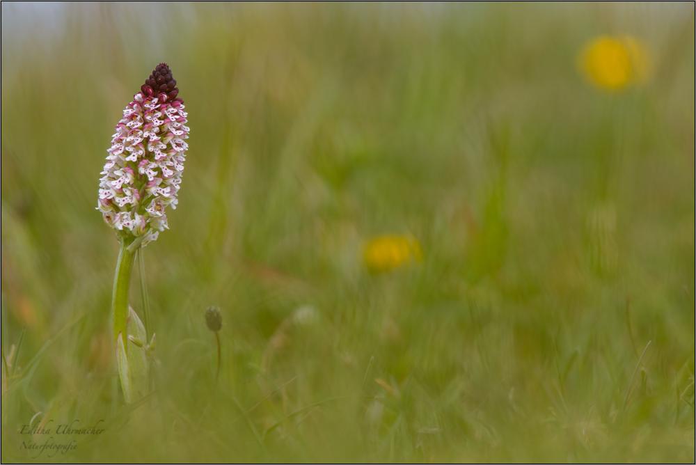 brand-knabenkraut (orchis ustulata) 02/14