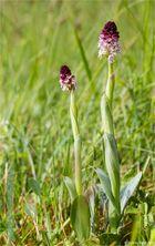 Brand-Knabenkraut (Orchis ustulata).