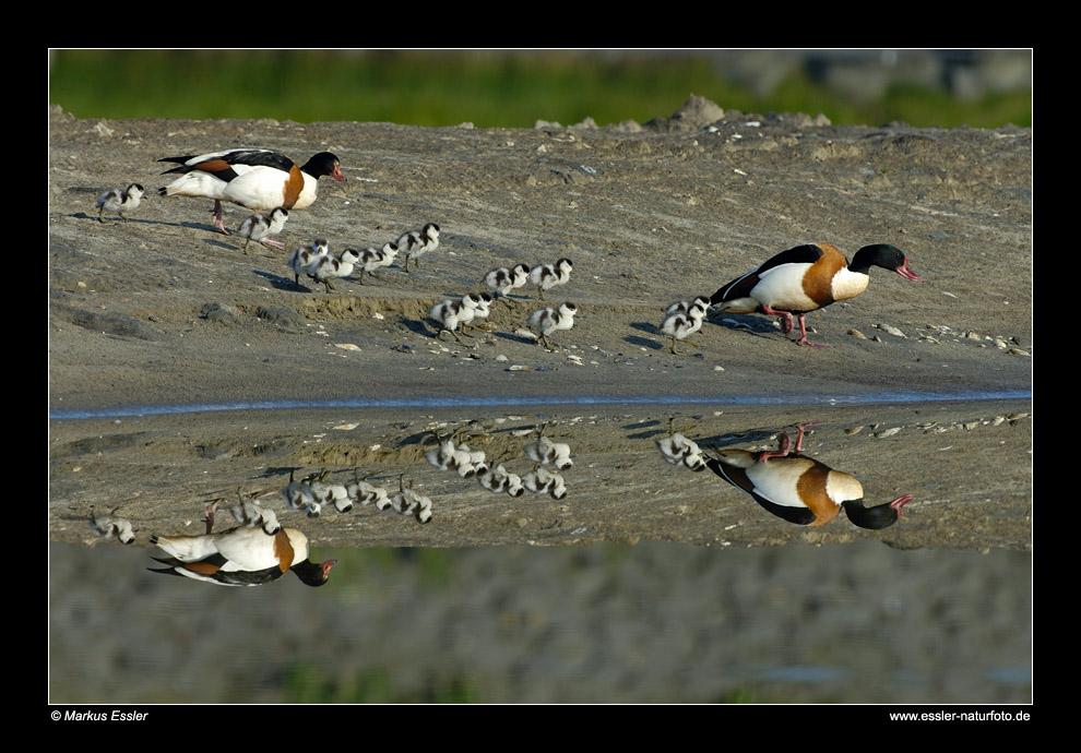 Brandgans-Pärchen mit Küken • Insel Texel, Nord-Holland, Niederlande (21-21272)
