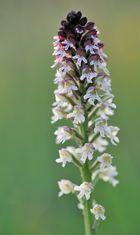 *Brandknabenkraut (Orchis ustulata)*