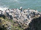 Brandt's Cormorants on the Cliff