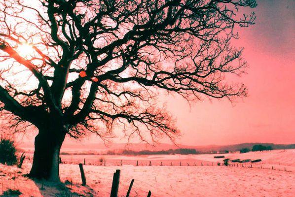 Branntweineiche im winterlichen Harz