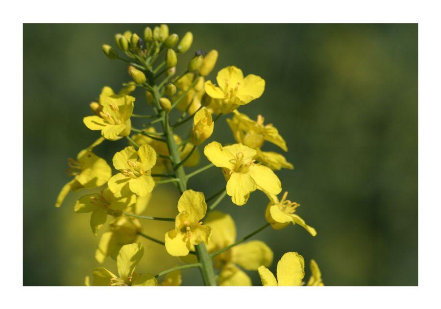 Brassica napus - Raps