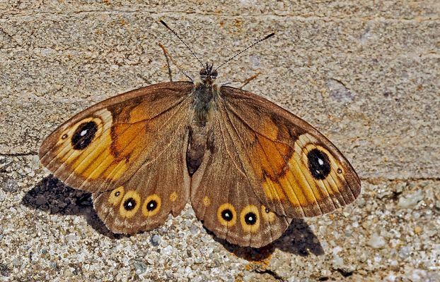 Braunauge, Weibchen (Lasiommata maera) - Ariane, un papillon femelle de jour!