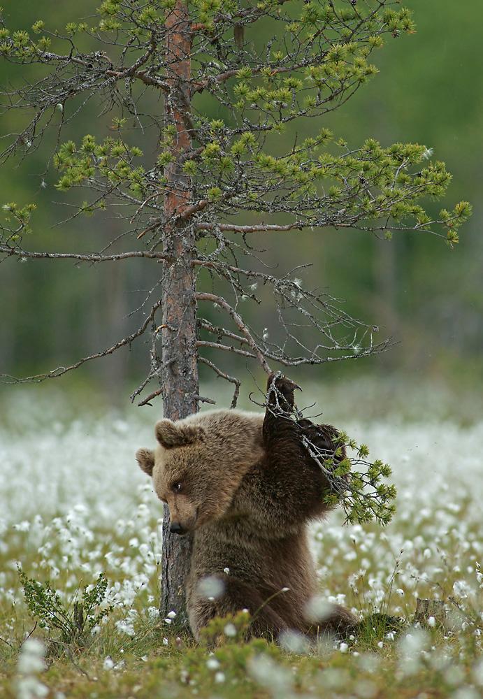 Braunbär