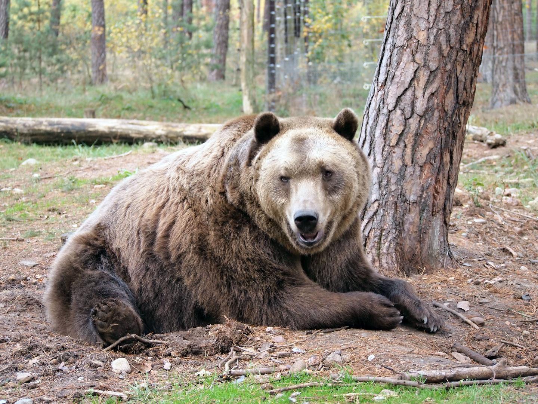 Braunbär im Wildpark