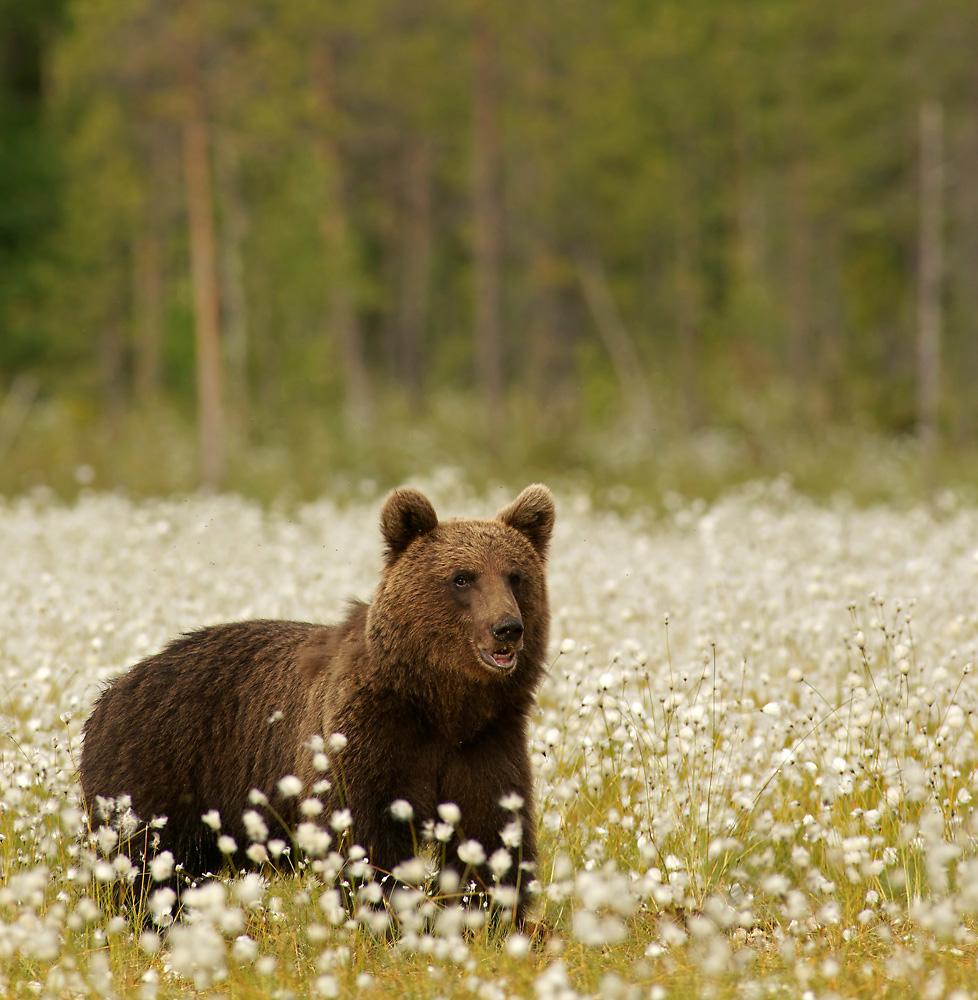 Braunbär im Wollgras
