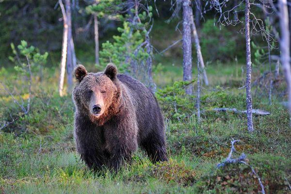 Braunbär in Finnland