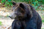 Braunbär---Portrait  - Wildpark Anholt
