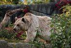 Braunbär (Syrische Unterart)