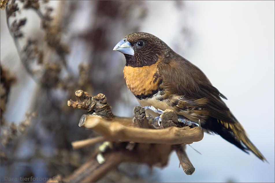 Braunbrustschilffink