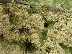 Braune Köpfchenflechte (Baeomyces rufus)